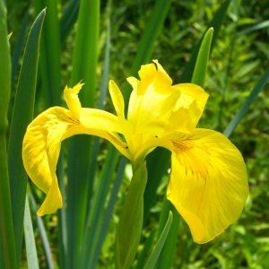 گل زنبق زرد