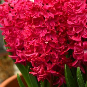 پیاز گل سنبل قرمز
